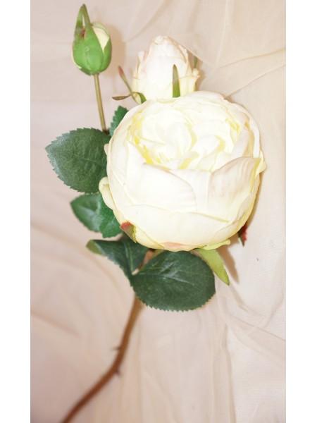 Роза пионовидная  белая